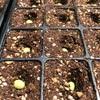 青森の毛豆栽培 青森の毛豆の種蒔き ついでにオクラの種蒔き
