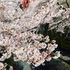 桜めっちゃ綺麗