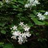 高尾山の植物 その1(マルバウツギ/シャガ)
