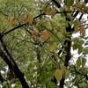 桜の黄葉…