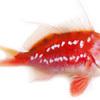 """春に釣れる真鯛とは別魚 """"さくらだい ー桜鯛ー"""""""
