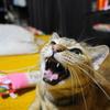 9月後半の #ねこ #cat #猫 どらやきちゃんA