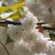 気多の白菊桜