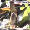 立春に天草では「ツクシ」阿蘇は「フキノトウ」
