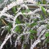 春を告げる花 ~ユキヤナギ~