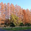 【お花見・紅葉14】 メタセコイアの紅葉 【サイクリングコース7】水元公園
