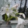 クリナムの白花