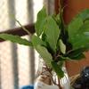 2013/06/28 ローリエ(月桂樹)を挿し木する