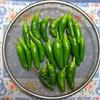 【家庭菜園】大きなししとう収穫しました(過去最高の取れ高)