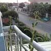 コンポンチャム我が家のゴマの植木と、プノンプロ寺のサル君