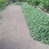おおまさり(桃畑)畝の除草