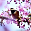 河津桜🌸とヤマガラ🐤