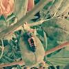【苦手な方は閲覧注意!】今度はテントウムシがサナギになりました。(幼虫と蛹の写真あります)