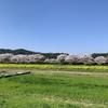 桜とチューリップはやっぱり伯太 2020/4/4