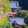 河津桜⑥ まだまだ元気(鎌倉・鶴岡八幡宮)