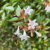 夏,恒例の霊園.この時期咲いている花は,アベリアとサルスベリ.写真に写り込んでくる木々が立派なことに改めて気付きました.片っ端から写真を撮って,PictureThisで同定.知っている植物はほんの少し.  半分ほどは,名前も初めて.ヤマモモ,ヨーロッパブナ,アメリカハリグワ,クスノキ,リギダマツ--- お墓の背景の斜面だけで12種の木々が植えられていました.まるで植物園.管理者の熱意を感じます.