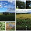 稲刈りはじめました。