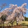 手ぬぐいで季節のしつらえ(桜)3月下旬〜4月上旬