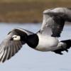 利口な渡り鳥:UKを見限り、さっさと飛行ルート・繁殖地を変える!  (BBC-News, September 2, 2019)