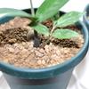 ザミオクルカスを購入してから6週間経過してやっと葉軸が出てきた(Zamioculcas・ZZ Plant)