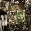 平均年齢63.25歳の会、早咲き桜でお花見