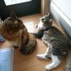 猫にとっても食欲の秋 父さんの大失態! ~その時、ノルウェージャンフォレストキャットとソマリの反応は?~