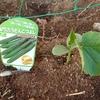 キュウリを植える