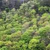 新緑の美しさとカスミザクラ