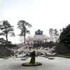 金沢城公園の桜は、ほぼ満開。