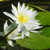 熱帯スイレン,睡蓮,Nymphaea