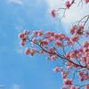 タイの桜のような花が咲き始め、タイ人の間で話題