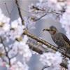 今年の桜とても綺麗ですが・・・。