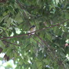 ハイタカ、ルリビタキそして、キクイタダキが各所で(大阪城野鳥探鳥 2017/11/19 6:05-12:40)