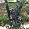 ケアンズに行った際は「コアラの抱っこ」を体験しよう!海外旅行は刺激がいっぱいだね。