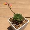 大和美尼(やまとみに)、姫秋麗(あきしゅうれい)が、開花しました。シクラメンが種で育つことを知りましたが、実生はやりません…。