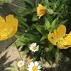 ポピー 黄色の花