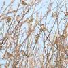 梅にニュウナイスズメの群れ