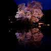 """日本一の夜桜"" 下呂市の苗代桜。"