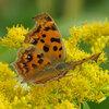 キタテハ - 季節によって姿が変わるチョウ | 虫紹介