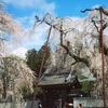 清雲寺の桜、秩父SLからの国民休暇村