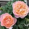 """【庭】Rosa.min """" Fujisan Forever """""""