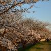 桜めぐり(5) 夕日に映える大野川の桜…