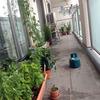 ベランダ菜園週報7月13日「イモムシ事変 パクチーその後」