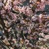 桜の木から「桜餅の香り」が