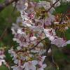 咲いていました早咲き桜