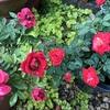 100円で購入したピンク色のミニバラ開花