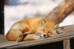 キタキツネの寝顔がとってもカワイイ! 旭山動物園に行くなら見ないと損だよ!