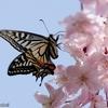 日本 桜とアゲハチョウ