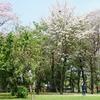 ルンピニ公園とタイの桜