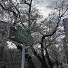 2019/3/31 桜